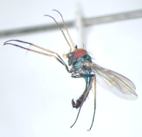 Condylostylus nigrofemoratus - male