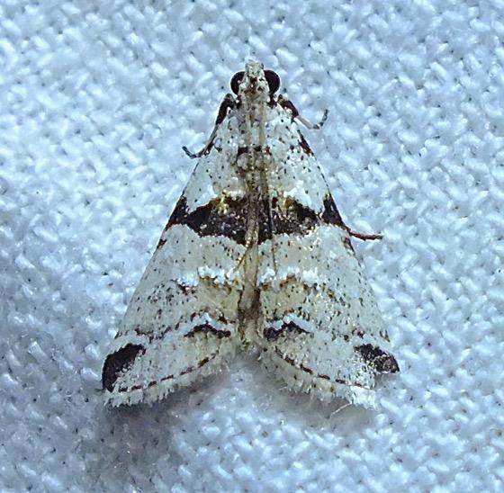 White and black moth - Tallula
