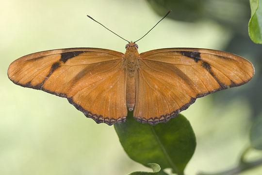Julia - Dryas iulia - female