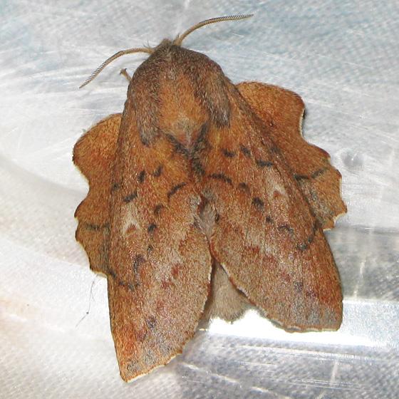 Oak leaf moth - Phyllodesma - female