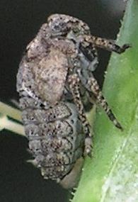 group on cactus - Traxus fulvus