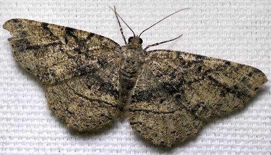 moth - Melanolophia