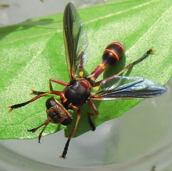 fly - Physoconops excisus