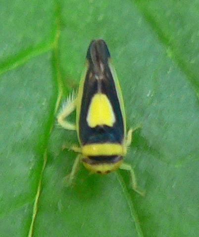 Saddled Leafhopper - Colladonus clitellarius