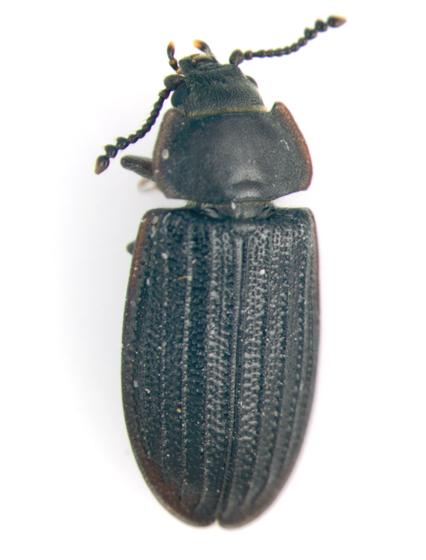 Trogossitidae - Bark-gnawing Beetle, dorsal - Grynocharis quadrilineata