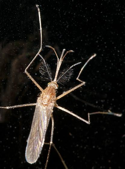 Mosquito Stanwood WA - Culex pipiens - male