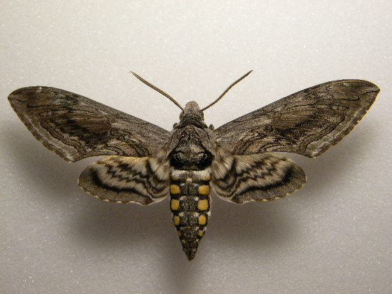 Five Spotted Hawkmoth - Manduca quinquemaculatus