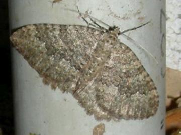 Moth #44 - Triphosa californiata