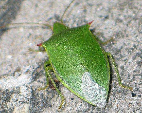 spined green stink bug - Loxa flavicollis