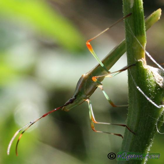 Rice Bug - Stenocoris - male