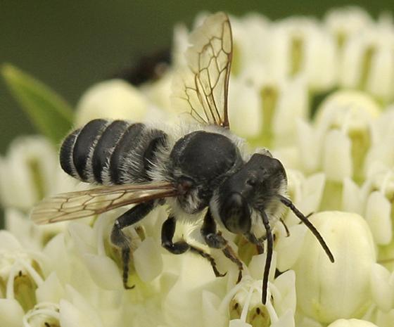 Bee ID Please - Megachile mendica - male