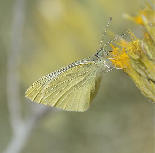 Cabbage White? - Pieris rapae