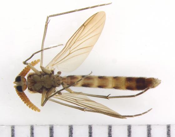 Keroplatidae - ventral - Keroplatus militaris - male