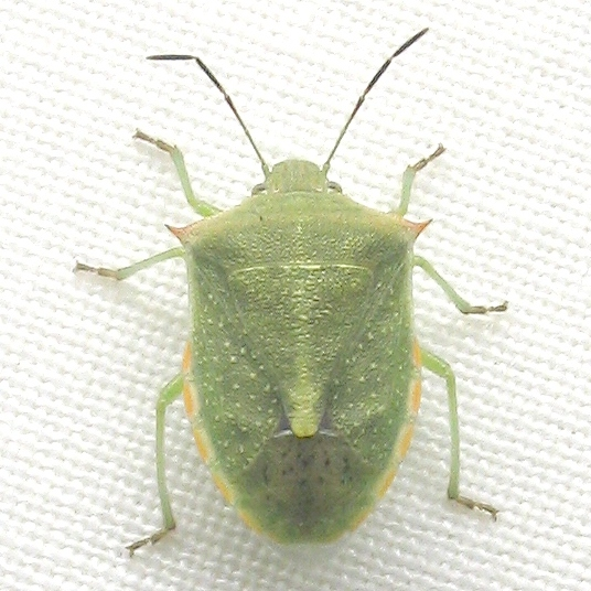 Red-shouldered Stink Bug - Thyanta custator