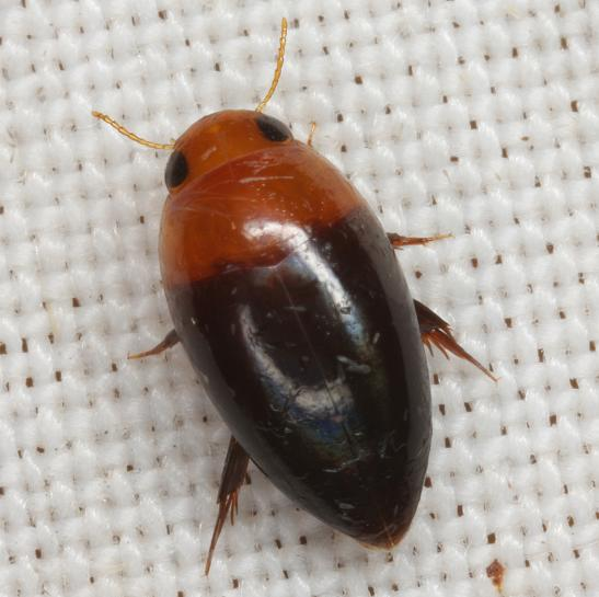 Hydrocanthus atripennis Say - Hydrocanthus atripennis