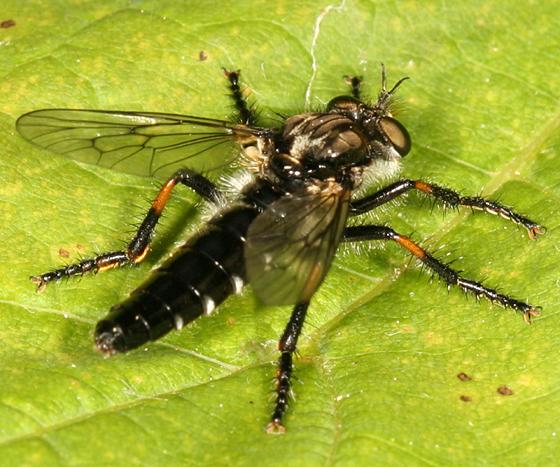 small robber fly - Cyrtopogon falto - Cyrtopogon falto - female