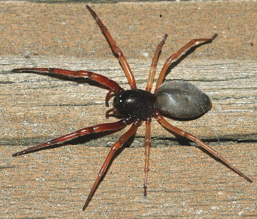 black spider w/ orange legs - Trachelas