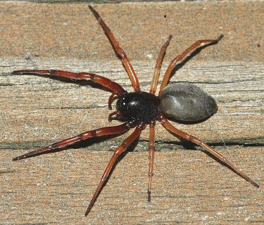 black spider w/ orange legs - Trachelas