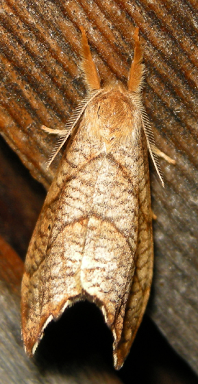 two-lined hooktip - Drepana bilineata