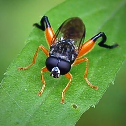 Chalcosyrphus? - Chalcosyrphus - male