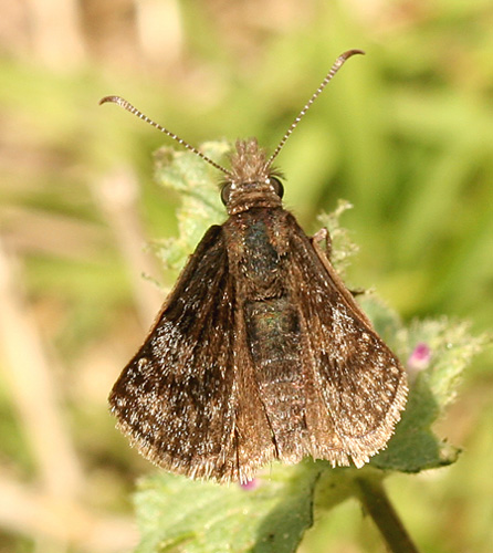 Butterfly ID - Erynnis icelus - male