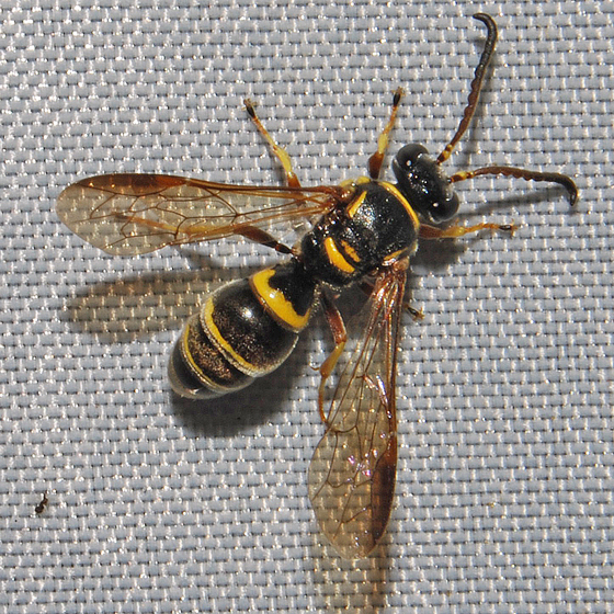Black and yellow bee - Argogorytes nigrifrons