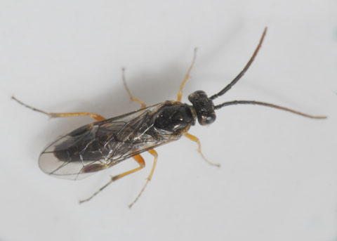 Sawfly from Willow Stem gall - Euura