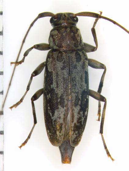 Cerambycidae, dorsalX - Lepturges confluens