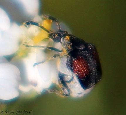 strange tiny beetle - Megacerus discoidus