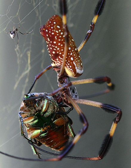 Somebody's pulling the golden silk spider's chain - Argyrodes elevatus