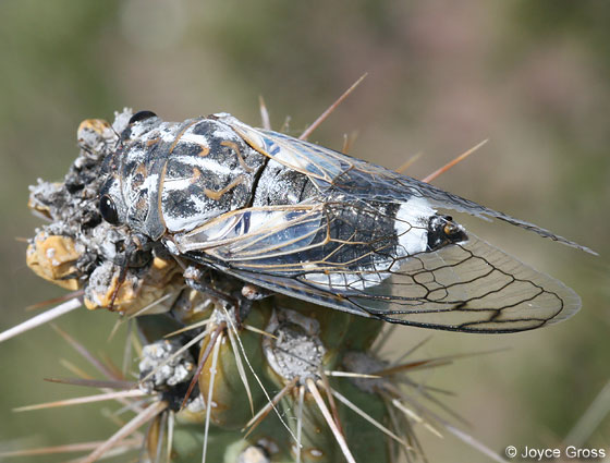 cicada - Hadoa townsendii