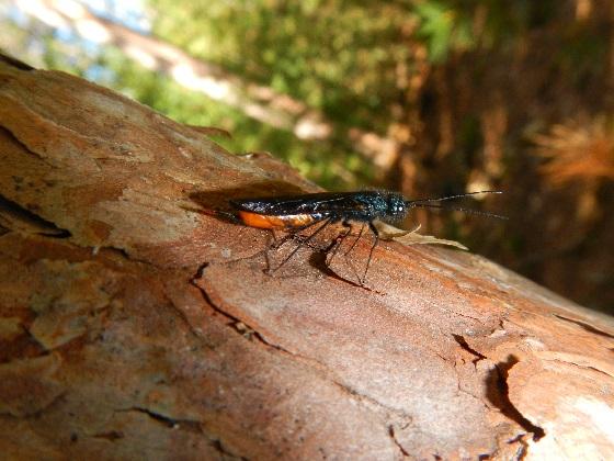 Female Sirex nigricornis (Pale form) - Sirex nigricornis - female