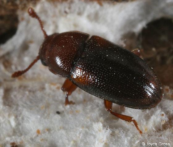 fungus beetle - Dacne californica