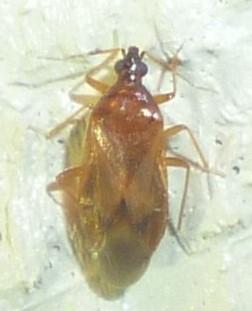 Amphiareus? - Amphiareus obscuriceps