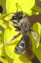 Tiny Mining Bee - Andrena piperi - female