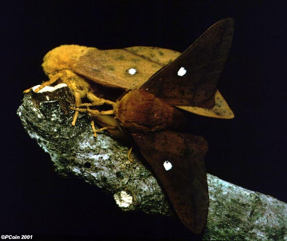 Peigler's Oakworm Moth - Anisota peigleri - male - female