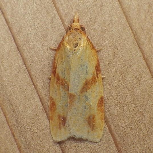 Tortricidae: Sparganothis unifasciana - Sparganothis unifasciana