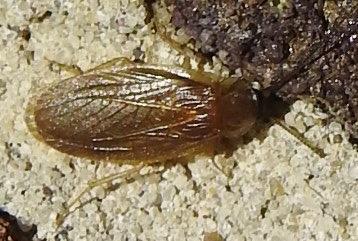 Compsodes schwarzi from East Texas - Compsodes schwarzi