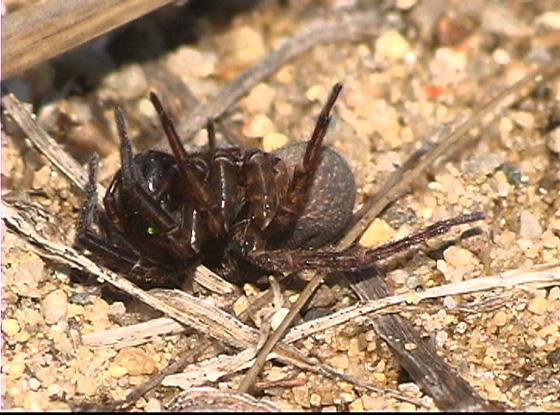 spider prey - Priocnemis minorata