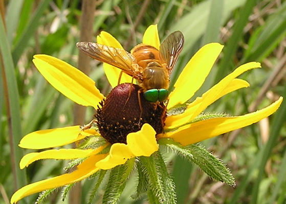 Green eyed fly - Stonemyia isabellina - male