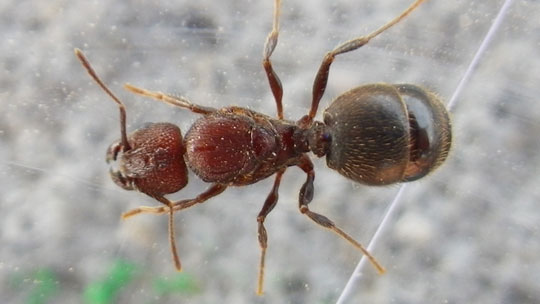 Ant Alate - Pheidole obscurithorax