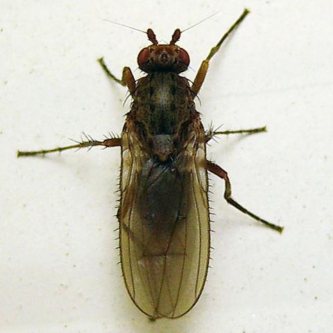Oecothea - female