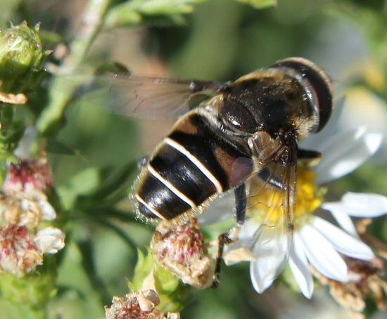 some kind of Syrphid Fly - Eristalis dimidiata