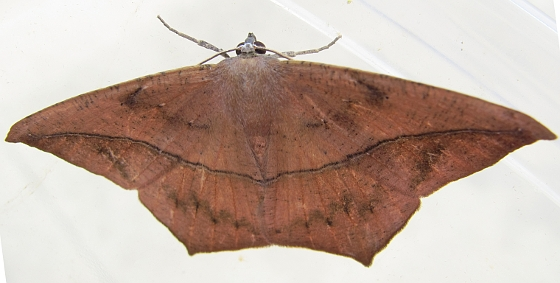 moth - August 26 - Prochoerodes lineola