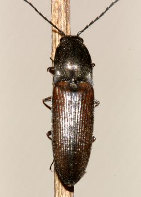 Click Beetle - Corymbitodes tarsalis