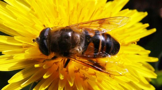 Fly - Eristalis tenax - male