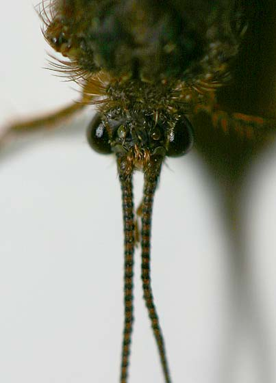 Portrait of a Large Caddisfly - Ptilostomis