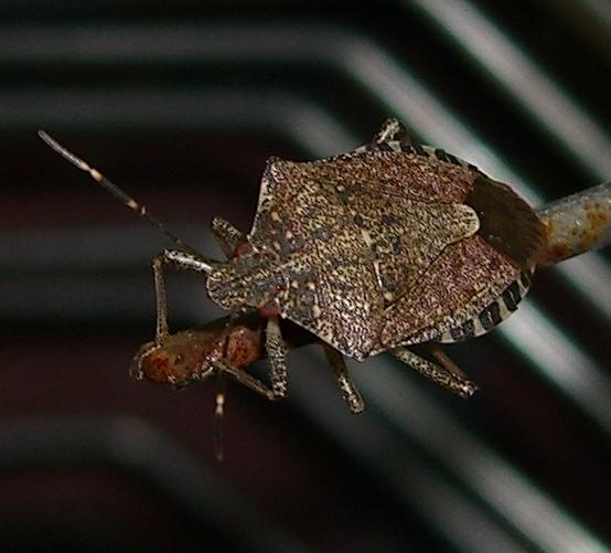 stink bug? - Halyomorpha halys