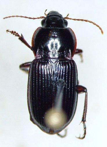 Amara pennsylvanica