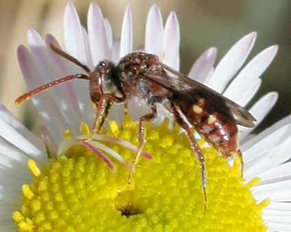 Bee - Nomada - female